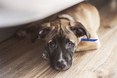 Little puppy lies on the floor under the bed. Little cute puppy lies on the floor under the bed Royalty Free Stock Photography
