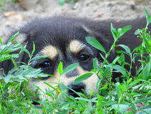 Little puppy. Lies on the grass Royalty Free Stock Photography