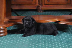 Little puppy lies under the table Stock Photography