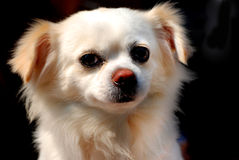 A little puppy look at me Royalty Free Stock Image
