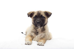 Little puppy looking Royalty Free Stock Photos