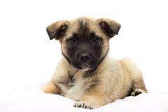 Little puppy looks Stock Photos