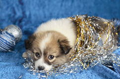 Little puppy lying on a blue background. Christmas decorations, selective focus. Royalty Free Stock Photos