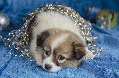Little puppy lying on a blue background. Christmas decorations, selective focus. Stock Image