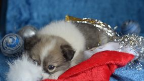 Little puppy lying on a blue background playing with a Christmas hat.