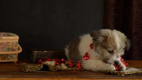 Little puppy lying and eating Christmas decoration bells on an old chest of drawers.