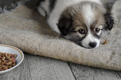 Little puppy is lying on the sacking, next to a plate of food. Royalty Free Stock Image