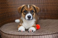 Little puppy in a wooden chair. Little puppy is lying in a wooden chair with rattan stock photo