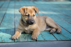 Little puppy. A little puppy is lying on a wooden floor Stock Images