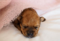 Little puppy, newly born on soft white background. Little baby puppy lying on white background stock images