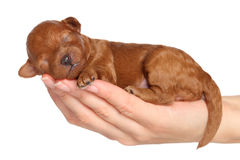 Little puppy (one week) in hand Royalty Free Stock Photo