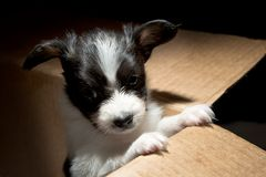 Little Puppy Papillon Royalty Free Stock Photography