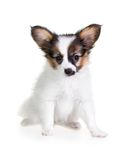 Little Puppy Papillon on a white background Royalty Free Stock Image