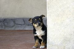 A little puppy peeking out from behind a corner royalty free stock image
