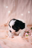 Little Puppy on a pink background Stock Photo