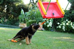 Little puppy playing with swing. Young little puppy shephard playing with plastic swing Royalty Free Stock Photo