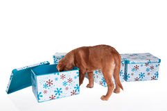 Free Little Puppy Playing With Boxes Royalty Free Stock Image - 13219886