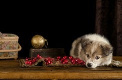 Little puppy plays with Christmas decorations, lying on an antique dresser. Royalty Free Stock Images