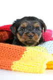 Little puppy portrait inside colorful scarf Stock Photos