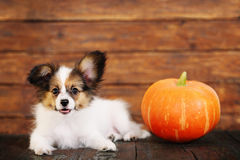 Little puppy with pumpkin Royalty Free Stock Photography