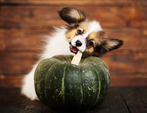 Little puppy with pumpkin Royalty Free Stock Image