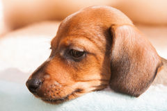 Little puppy of rate Royalty Free Stock Photos