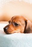 Little puppy of rate Royalty Free Stock Photography