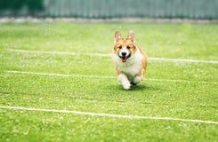 Little puppy red dog breed Corgi fun running around the green football field on the Playground on the streets in the city for a. Puppy dog breed Corgi fun royalty free stock photo