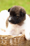 Little puppy resting in basket Royalty Free Stock Photography