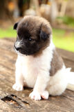 Little puppy resting on wooden table Stock Photography