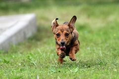 Little puppy on the run Stock Image