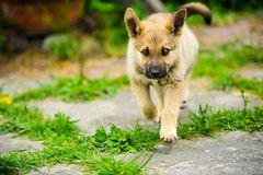 Little puppy is running happily with floppy ears trough a garden with green grass. Beautiful, breed, adorable, animal, background, black, brown, canine, cute royalty free stock image