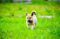 Little puppy is running happily with floppy ears trough a garden with green grass. Beautiful, breed, adorable, animal, background, black, brown, canine, cute stock photo