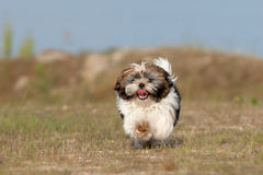 Little puppy is running Stock Images