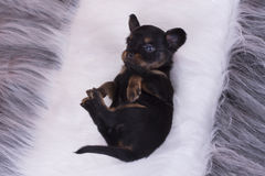 Little Puppy Russian toy terrier isolated on a colored backgroun Royalty Free Stock Photography