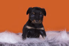 Little Puppy Russian toy terrier isolated on a colored backgroun Royalty Free Stock Photo