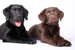 Little puppy's Stock Photos