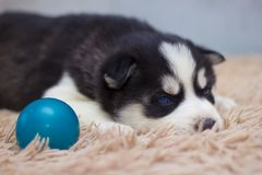 Little puppy with sad eyes stock photo