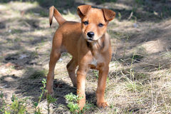 Little puppy. With sad eyes looking directly into the camera lens royalty free stock image