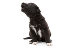 Little puppy sad howls Stock Photography