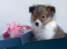 Little puppy Sheltie in a gift box. On a gray background Royalty Free Stock Images