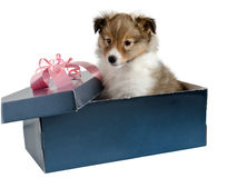 Little puppy Sheltie in a gift box Stock Photos