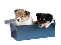 Little puppy Sheltie in a gift box Stock Images