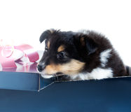 Little puppy Sheltie in a gift box. On a white background Stock Photo