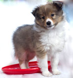 Little puppy Sheltie. With a red disc Royalty Free Stock Photography