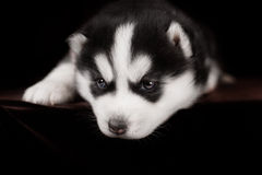 Little puppy Siberian Husky, close-up portrait Royalty Free Stock Image