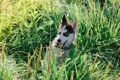 Little puppy of siberian husky playing on the grass.  Royalty Free Stock Image