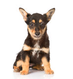 Little puppy sitting in front. on white background.  royalty free stock photography