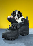 Little Puppy sitting in shoe. Little Puppy Papillon sitting in shoe on a yellow background stock photos