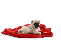 Little puppy sitting on towel Royalty Free Stock Image